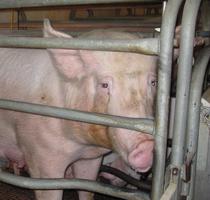 porcine-pig-virus-pedv